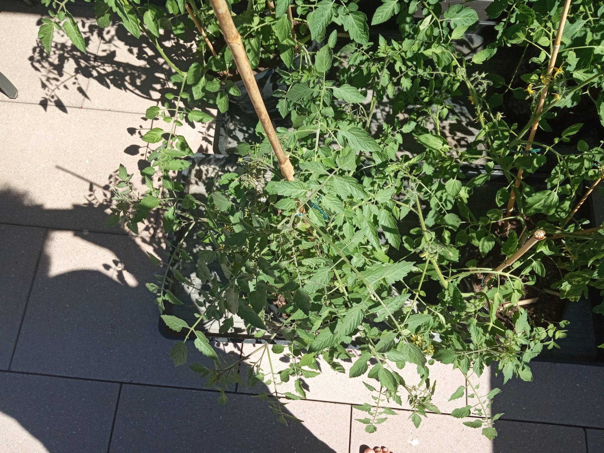 tomaten update 3