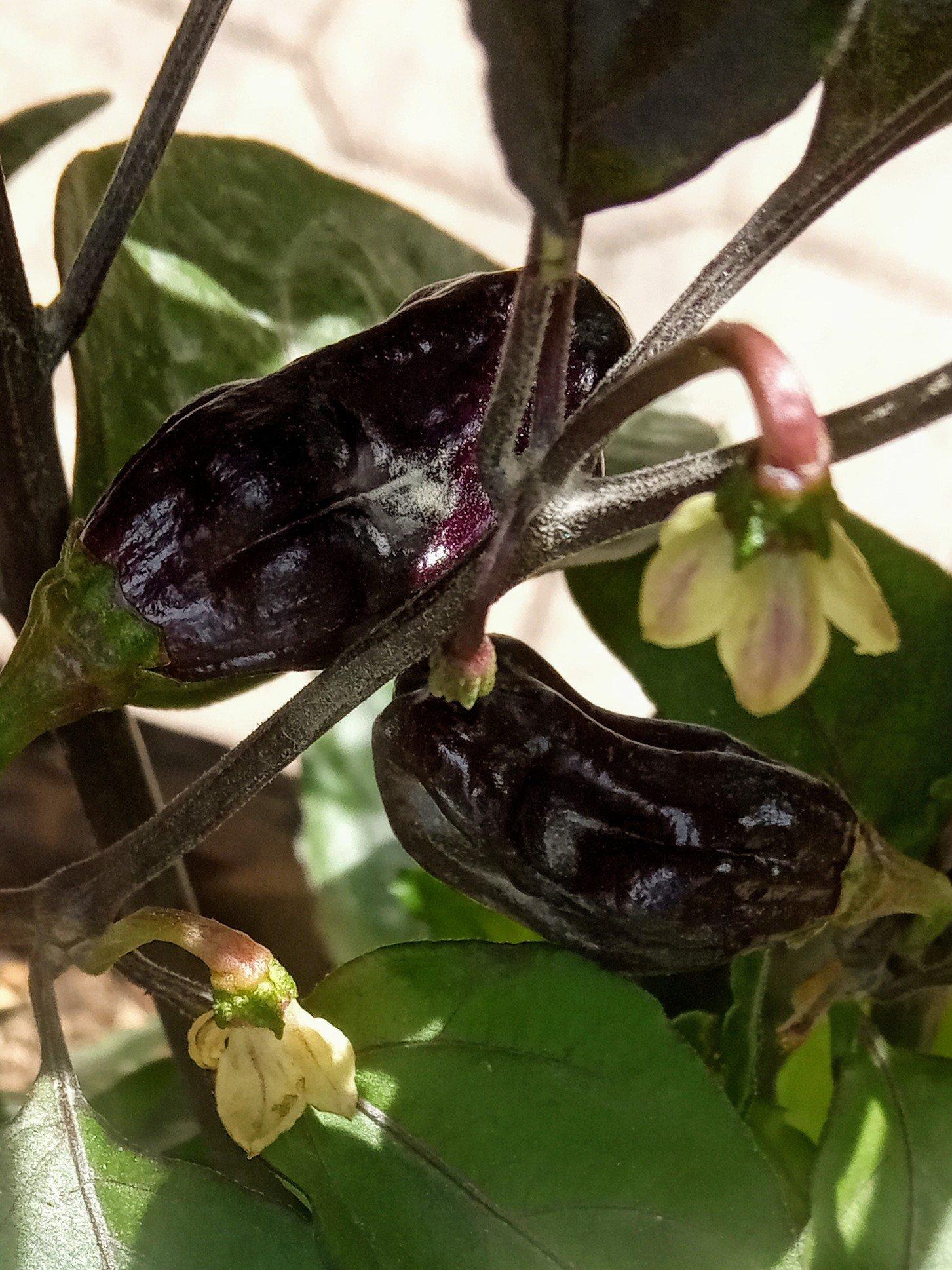darkanero fruchtformen