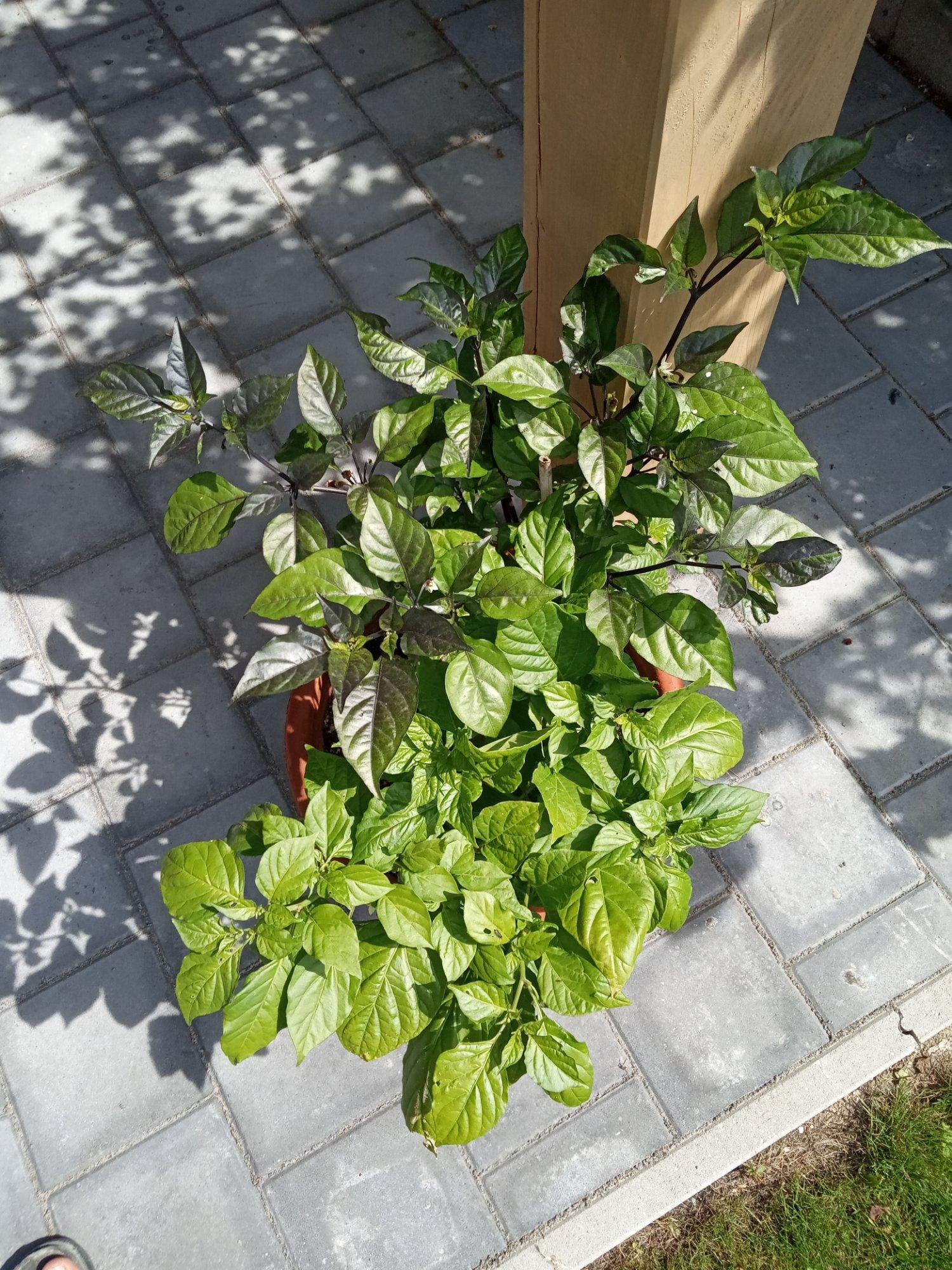 die oma chilis 2